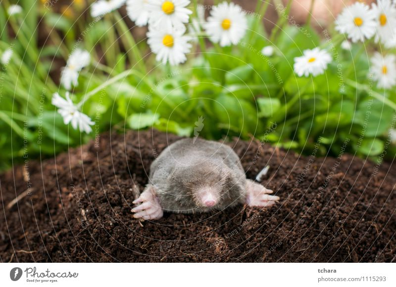 Mole out of hole Happy Face Garden Nature Animal Earth Flower Grass Blossom Fur coat Smiling Laughter Small Wild Brown Black mole molehill Mammal wildlife