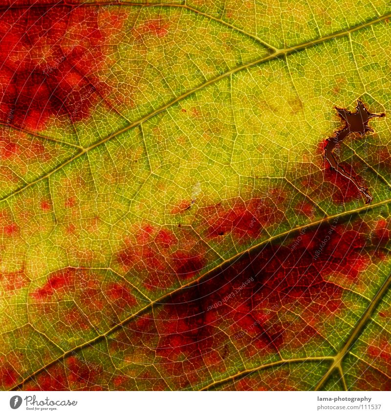 Autumn wine Life Relaxation Calm Nature Leaf Vine Brown Yellow Green Red Colour Transience Arteries Membrane Photosynthesis Consumed Autumn leaves