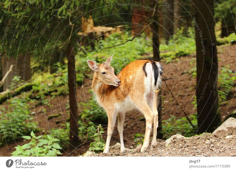 reh Animal Wild animal 1 Cleaning Cuddly Cute Contentment Calm Freedom Idyll Nature Protection Roe deer Mammal Colour photo Exterior shot Deserted Day