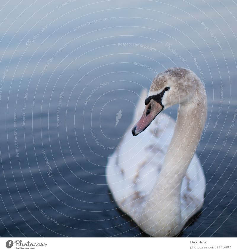 Blue Beautiful White Animal Baby animal Swimming & Bathing Bird Pink Wild animal Feather Communicate Soft Curiosity Float in the water Near Trust
