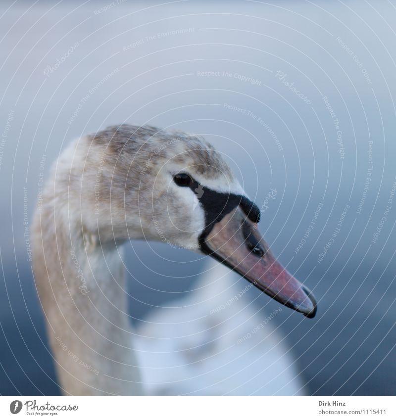 My dear swan IX Animal Wild animal Swan Animal face 1 Baby animal Blue Brown Gray Pink White Bird Curiosity Soft Aquatic animal Near Trust Respect Animalistic