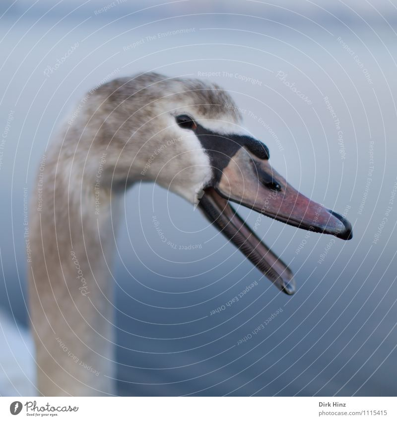 My dear Swan IV Animal Animal face Wing 1 Baby animal Blue Gray White Wild animal Bird Curiosity Soft Aquatic animal Trust Respect Animalistic To talk Quack