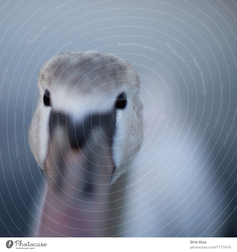 My dear swan V Animal Wild animal Swan Animal face 1 Baby animal Gray Pink White Moody Brave Curiosity Interest Surprise Experience Expectation Emotions Bird