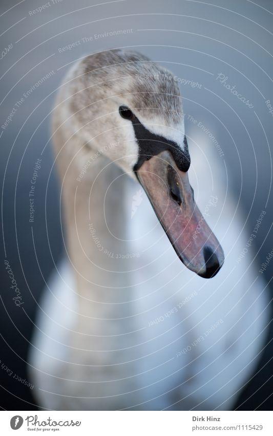 My dear swan VI Animal Wild animal Swan Animal face 1 Gray Pink White Wing Baby animal Curiosity Soft Aquatic animal Near Trust Respect Animalistic