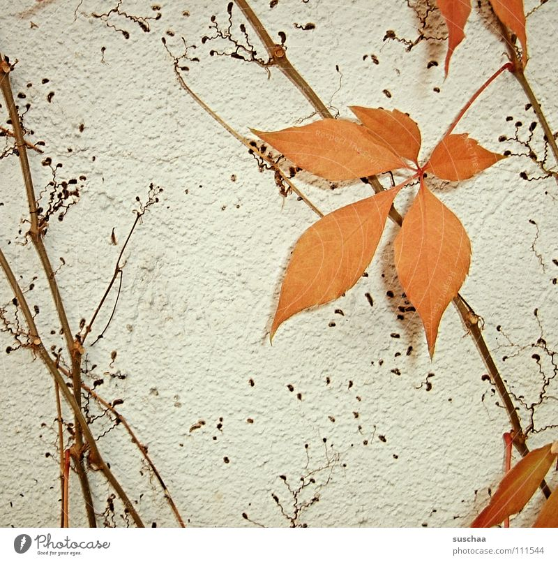 ...the last sheet .......... Autumn Cold Leaf Stalk Creeper Seasons Colour Orange Branch Structures and shapes leaf loss