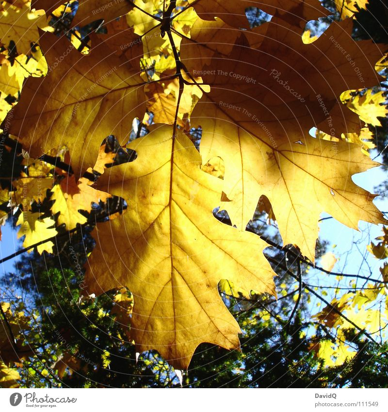 Golden Autumn Tree Leaf Hang Oak tree Lighting Transience Autumnal golden october Branch Acorn Sun Limp