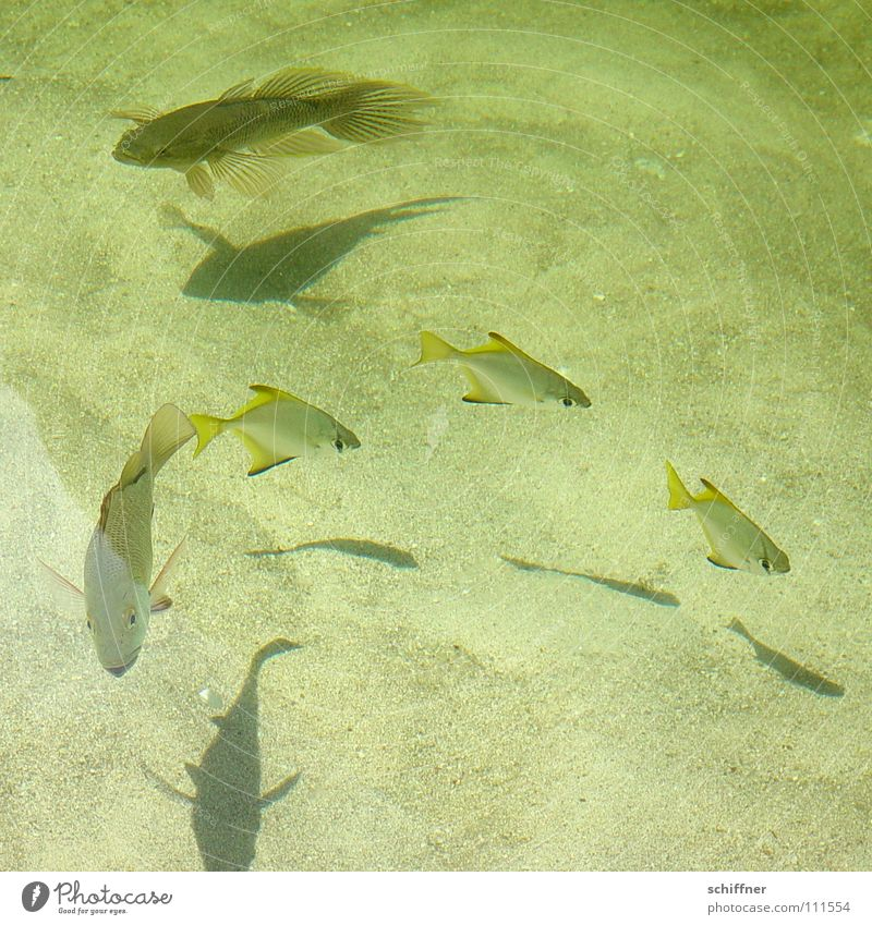 underwater ballet Hover Sea water Lake Pond Foraging Fish Water Freshwater Shadow Sand Water wings food hunt Swimming & Bathing