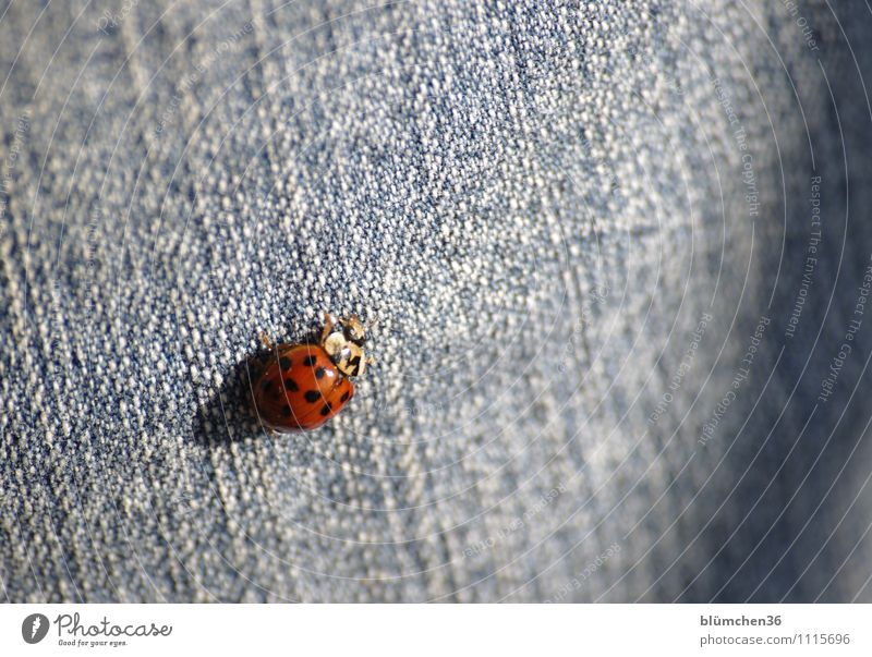 Happiness is everywhere!!! Animal Farm animal Beetle Wing Ladybird Crawl Walking Sit Friendliness Beautiful Small Natural Round Point Red Jeans Good luck charm