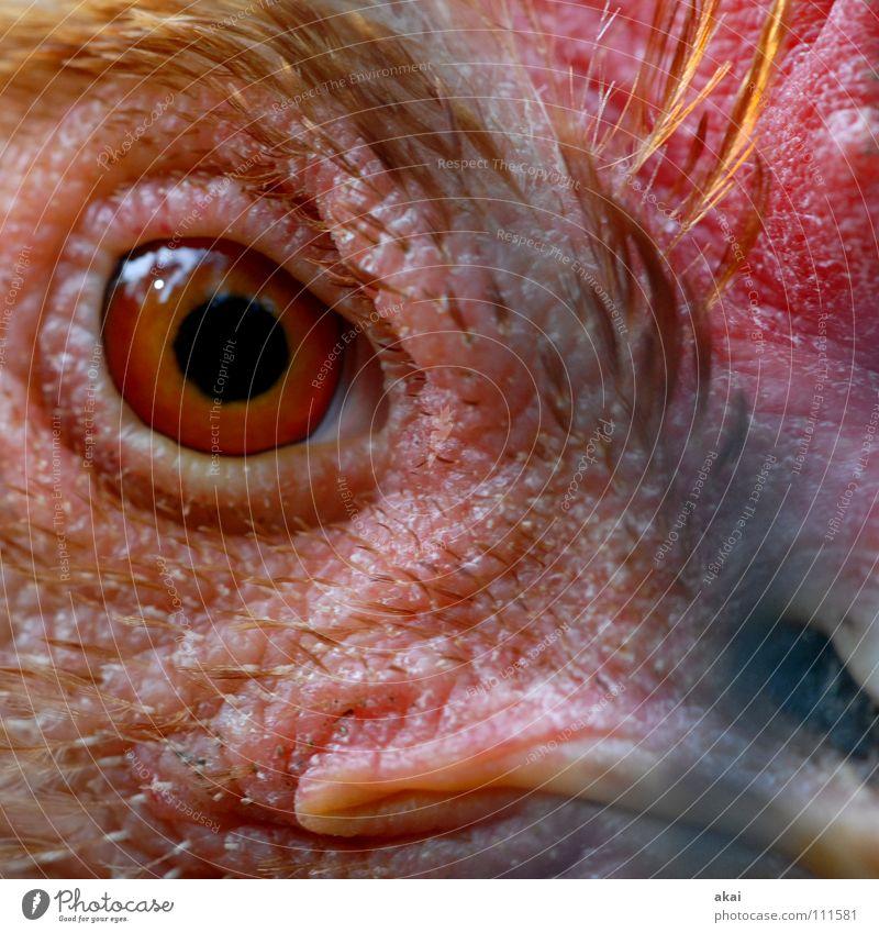 Red Animal Eyes Bird Watchfulness Looking Barn fowl Pupil Macro (Extreme close-up) Detail of face Bird's eyes