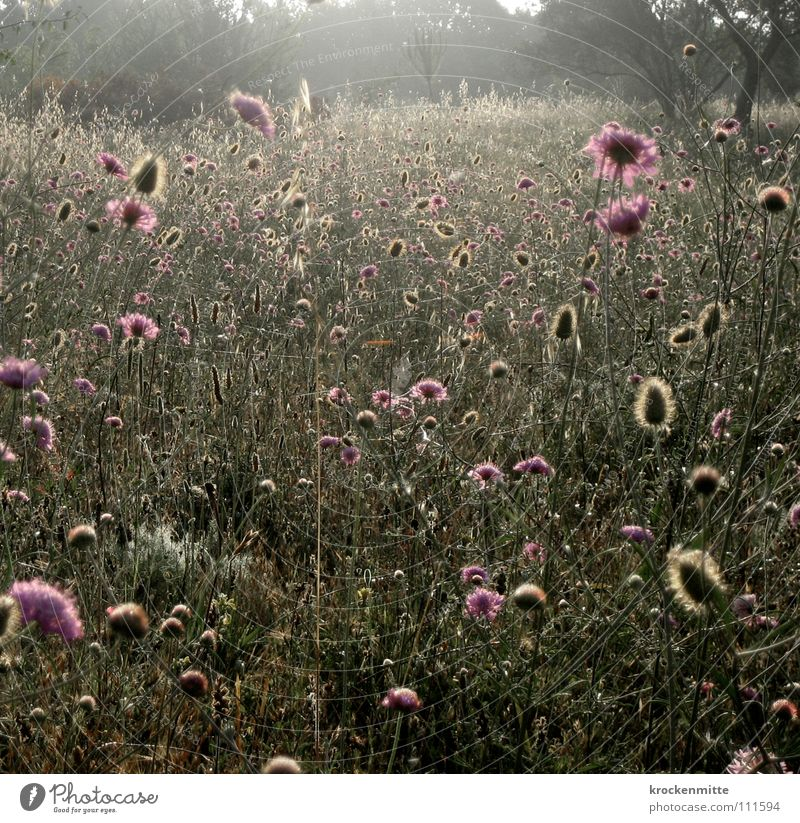A Summer Morning Dream III Flower Tuscany Vacation & Travel Meadow Style Blossom Growth Plant Italy Back-light Flower meadow Nature Dawn