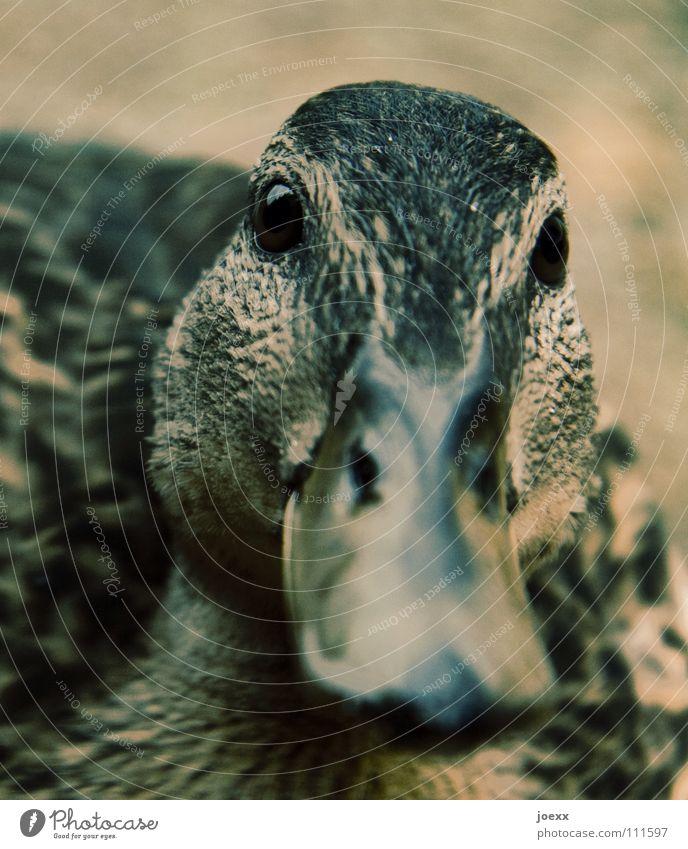 Eyes Bird Sweet Curiosity Near Trust Interest Duck Beak Feeding Animal Duck birds Quack Mallard