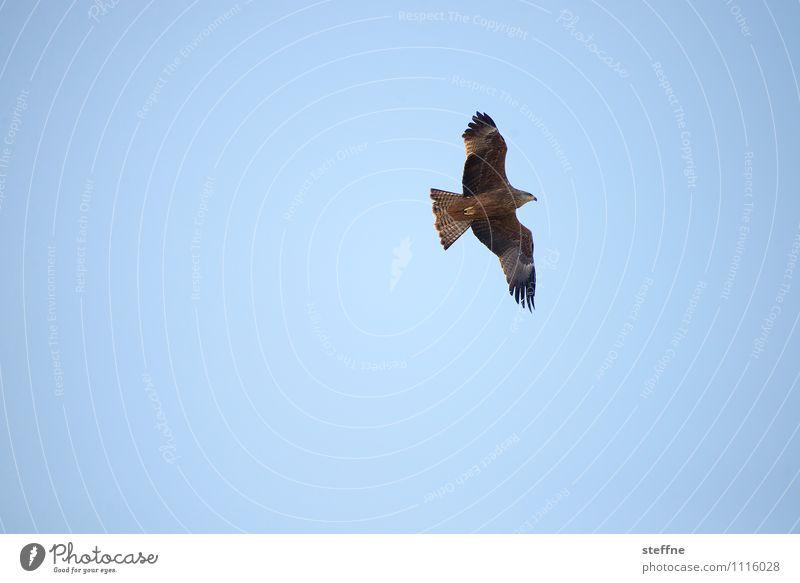 Sky Nature Animal Flying Bird Beautiful weather Cloudless sky Bird of prey Hawk