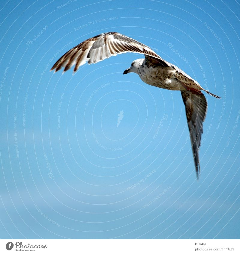 right-hand bend Seagull White Right Curve Black Brown Sea bird Bird Animal Poultry Aloof Sailing Glide Infinity Beautiful Air Iron blue Deep Exterior shot