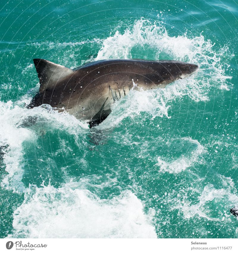 attack Vacation & Travel Tourism Trip Adventure Far-off places Environment Nature Water Ocean Animal Wild animal Shark Sharkfin 1 Hunting Wet Natural Fear