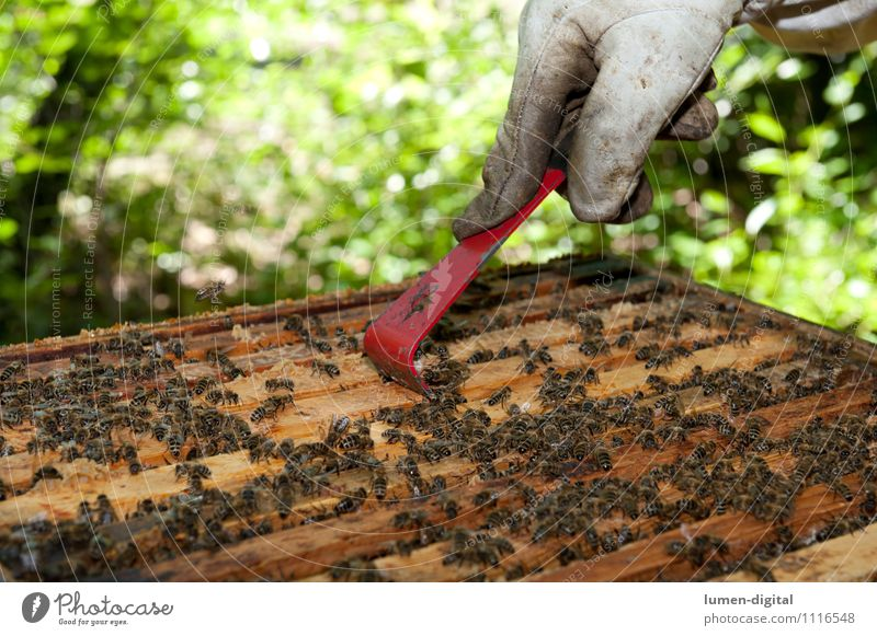 Beekeeper scrapes honey from a honeycomb Food Summer Garden Nature Leaf Green Farm Apiary bee colony Beehive beeswax beekeeping drone salubriously Honey