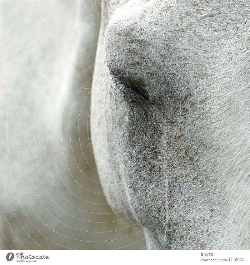 Tired white mildew, you're a pest. Ride Riding stable Agriculture Forestry Animal Pet Farm animal Horse Fly Pelt Gray (horse) Eyes Eyelash 1 Sleep Dream Sadness