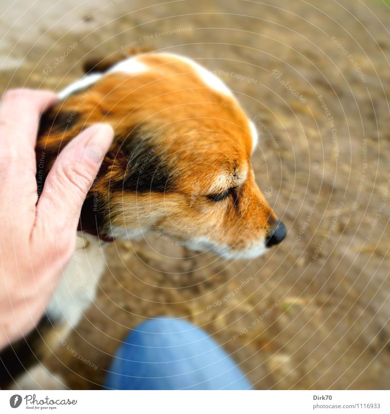 Good dog! Human being Masculine Hand 1 30 - 45 years Adults Jeans Animal Pet Dog Terrier Jack Russell terrier Head Sand Relaxation To enjoy Sit Cute Blue Brown