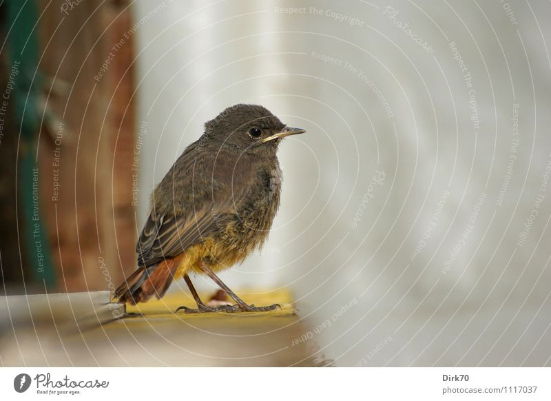 Don't come any closer! Environment Nature Garden Animal Wild animal Bird Songbirds Black redstart Redstart 1 Baby animal Observe Crouch Sit Wait Small Natural