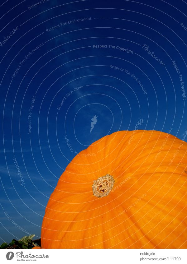 Blue Joy Orange Field Round Furrow Hallowe'en Pumpkin Vegetable Carve Pumpkin soup