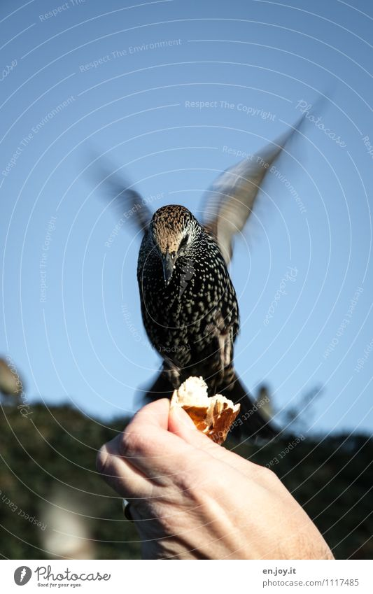 everybody away, now I'm coming Roll Hand Cloudless sky Beautiful weather Animal Wild animal Bird Starling 1 Flying To feed Feeding Exceptional Trust