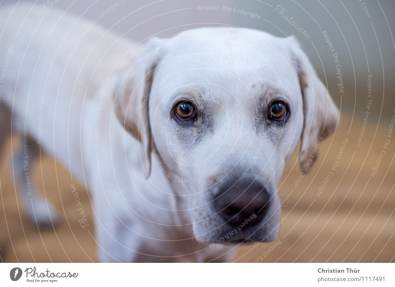 Max was curious again. Environment Animal Pet Dog Labrador 1 Breathe Observe Discover Illuminate Esthetic Athletic Friendliness Beautiful Muscular Thin Smart