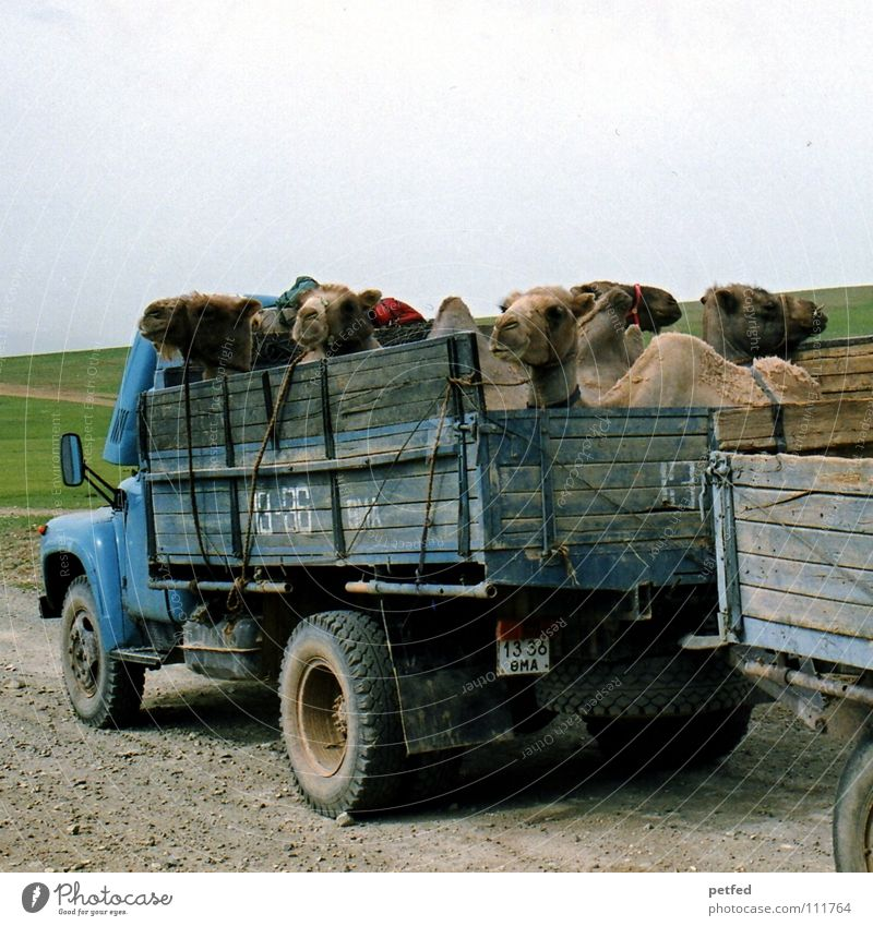 hitchhikers Mongolia Asia Hitchhiker Driving Hiking Adventure Camel Animal Truck Pothole Steppe Peoples Far-off places Mammal Earth Vacation & Travel Street