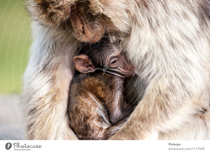 Monkey holding its baby Eating Face Child Baby Man Adults Mother Family & Relations Zoo Nature Animal Grass Fur coat Hair Hang Cute Wild Brown Warm-heartedness
