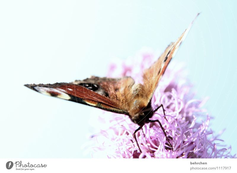 nibble Sky Cloudless sky Spring Summer Beautiful weather Flower Garden Park Meadow Butterfly Wing Touch Blossoming Eating Flying Blue Brown Violet Nectar Feeler