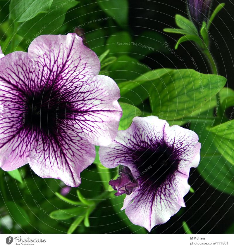 When was summer, anyway? Flower Plant Balcony Violet Green Summer Spring Meadow Blossom Petunia Japan Maturing time Solanaceae Funnel Vessel