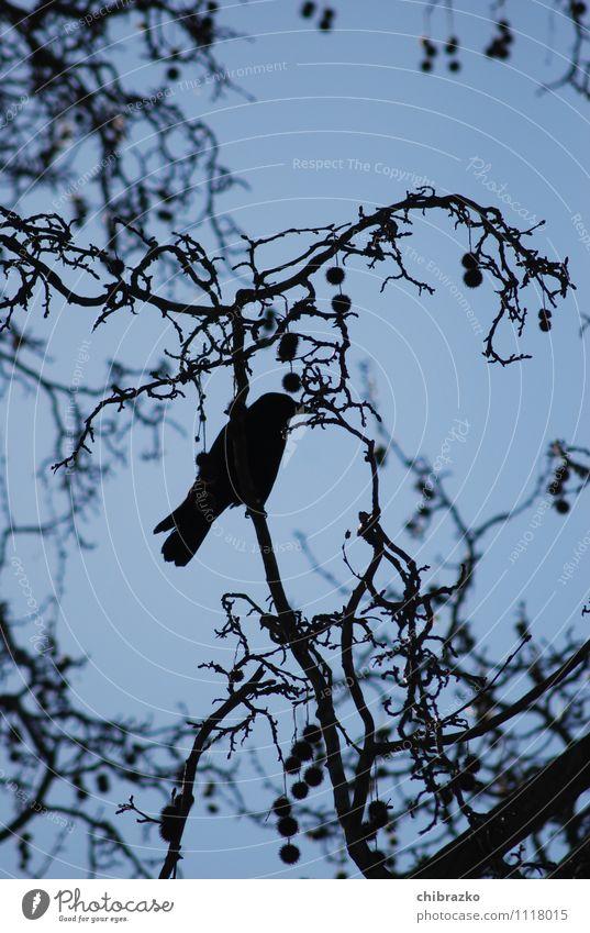 Sky Blue Tree Black Bird Gloomy Wild animal Free Crow