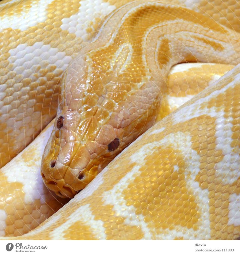Python molurus - Albino (2) Colour photo Interior shot Close-up Pattern Structures and shapes Deserted Copy Space right Copy Space top Copy Space bottom