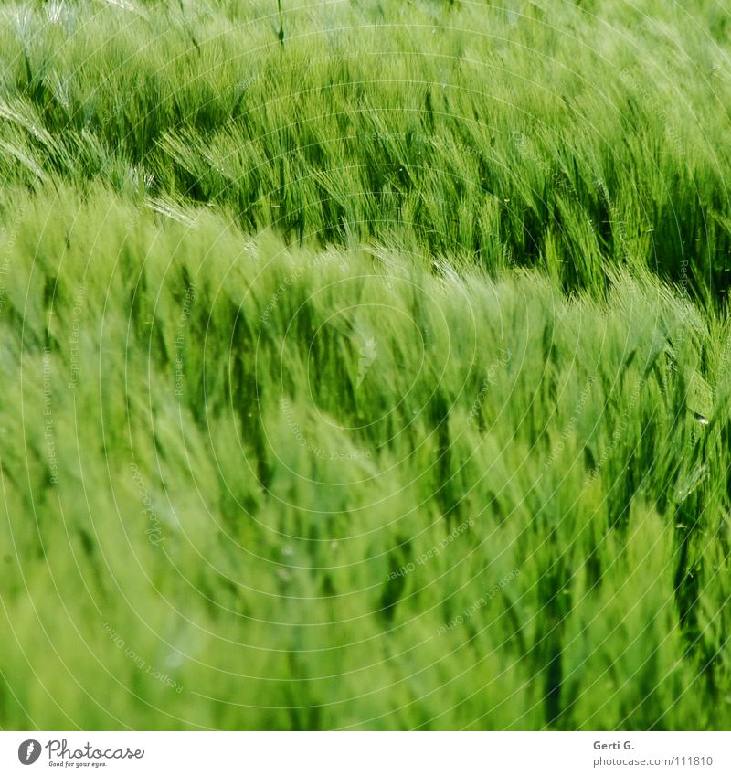 Green Colour Wind Soft Grain Cornfield Wheat Ear of corn Rye