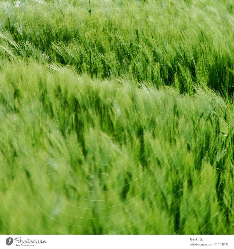 Green Colour Wind Soft Grain Cornfield Wheat Ear of corn Rye