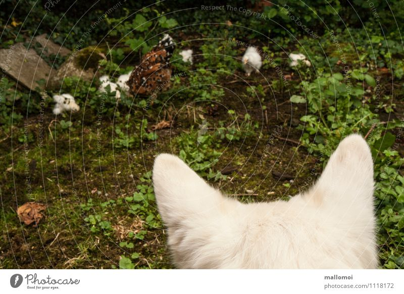 Dog watches chicken and chicks Nature Animal Pet Farm animal Group of animals Observe Catch To feed Feeding Hunting naturally Barn fowl Guard Attentive Caution