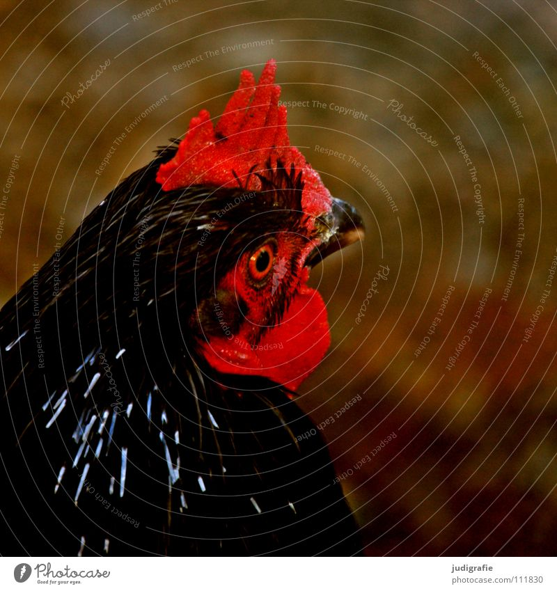 Red Colour Bird Feather Agriculture Farm Pet Beak Barn fowl Poultry Animal