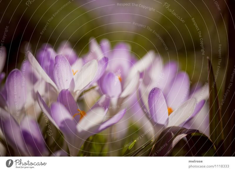group dynamics Style Sunbathing Nature Spring Flower Grass Moss Blossom Wild plant Calyx Pistil Spring flowering plant Crocus Garden Blossoming Illuminate