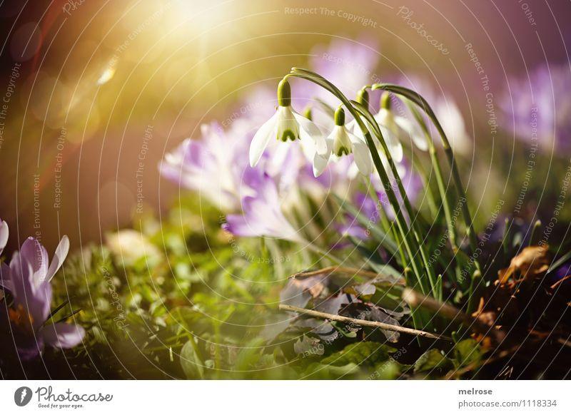 Spring breeze II Style Sunbathing Nature Plant Sunlight Flower Grass Leaf Blossom Wild plant Spring flowering plant Snowdrop Crocus Calyx Flower stem Garden