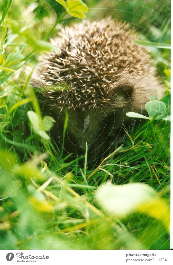 Haha...you don't see me!! Hedgehog Meadow Autumn Timidity Green Small Cute Thorny Animal Clover Grass Feeble Mammal Hide Spine Baby animal