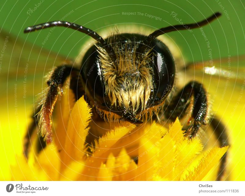 Green Summer Black Eyes Nutrition Animal Yellow Spring Insect Bee Collection Feeler Striped Honey Diligent Wasps