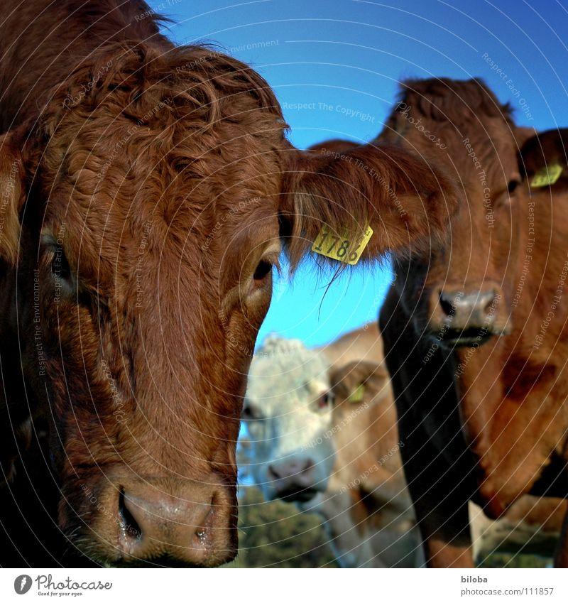 Animal Eyes Cold Grass Brown Wet Nose Forwards Agriculture Damp Cow Breathe Effort Snout Calf Livestock
