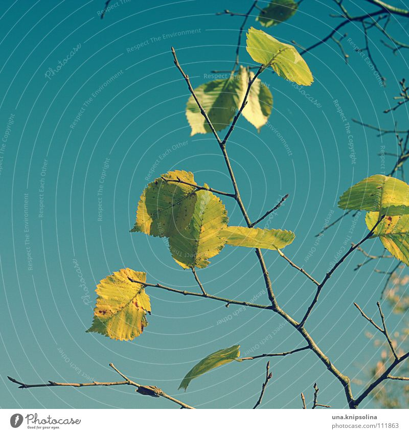 Autumn Winter Nature Tree Leaf To fall Freeze Cold Blue Yellow Dyeing Seasons Autumnal Colour photo Exterior shot