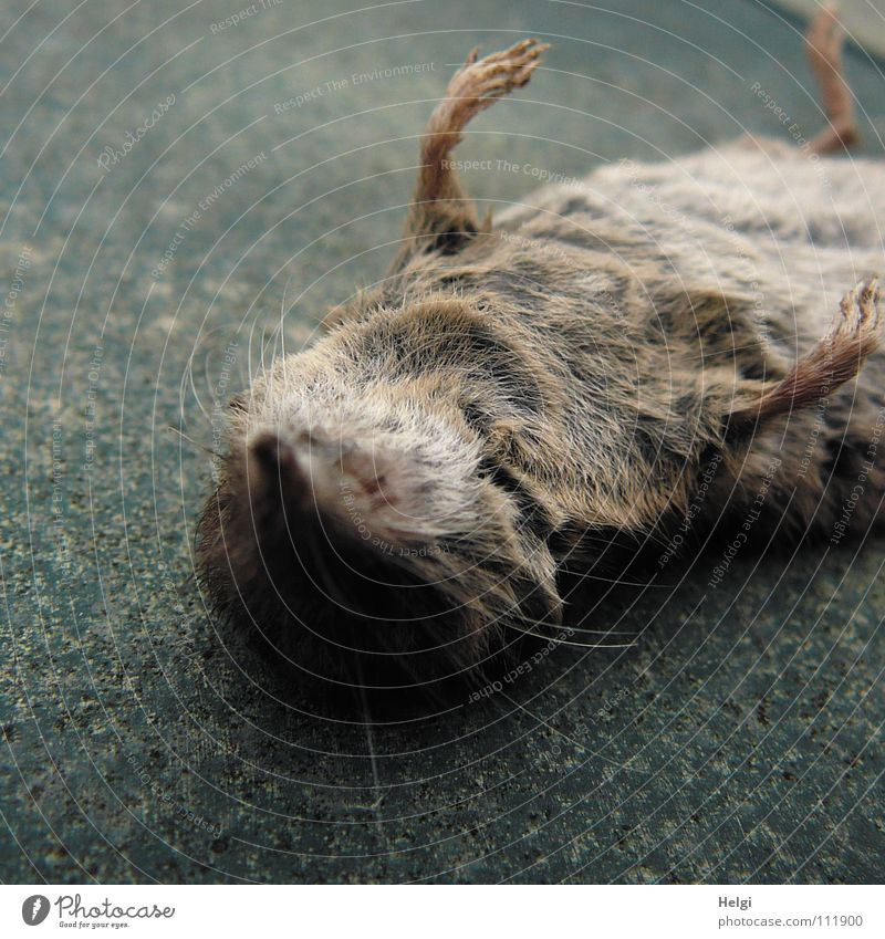 dead as a doornail Pelt Paw Snout Beard hair Toes Wayside Roadside Death Supine position Brown White Pink Gray Transience Mammal Macro (Extreme close-up)