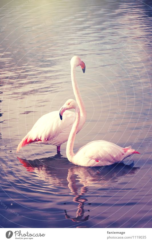 love Nature Pond Lake Animal Flamingo 2 Love Pink Violet Blue Gold Sunbeam Couple Pair of animals Neck Elegant Swimming & Bathing Reflection Camargue