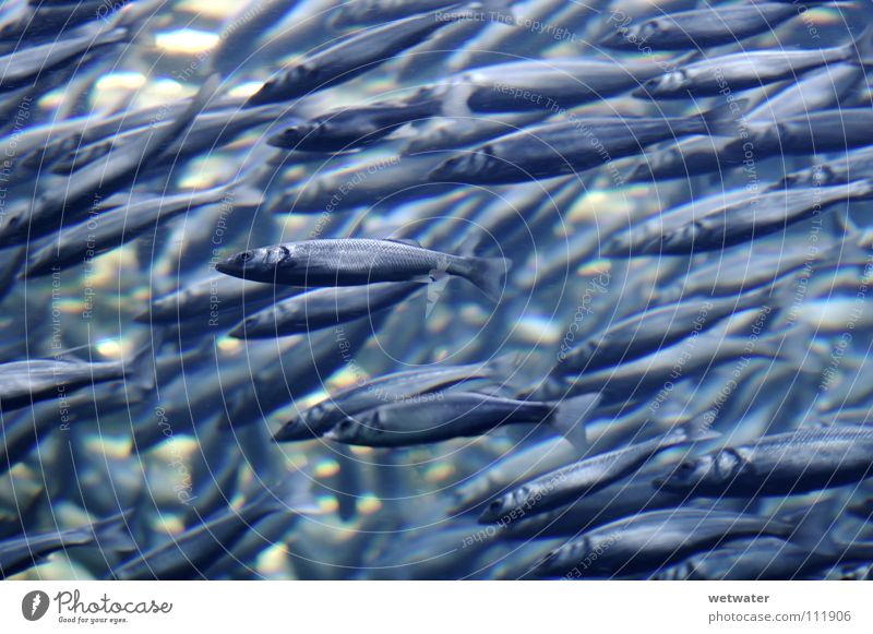 Water Ocean Blue Together Fish Might Multiple Group of animals Strong Direction Many Muddled Underwater photo Flock