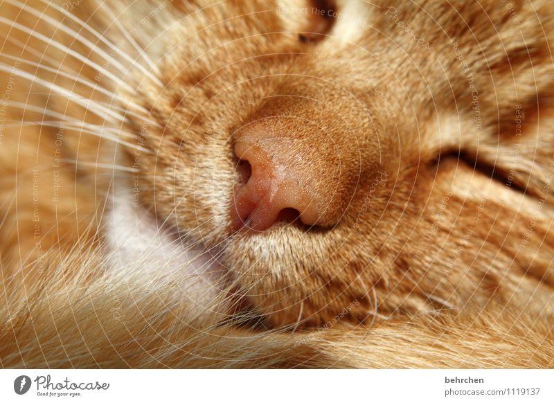 slumber Pet Cat Animal face Pelt 1 Love Sleep Dream Beautiful Cute Wild Orange Protection Safety (feeling of) Warm-heartedness Love of animals Calm Nose Snout