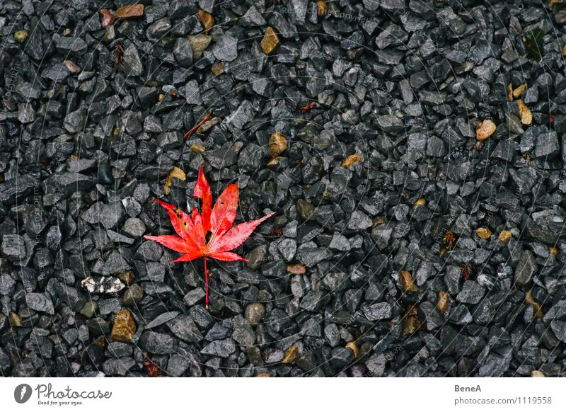 autumn Nature Plant Earth Autumn Leaf Maple leaf Maple tree Stone Old Lie Gray Orange Red Transience Change Pebble Japan maple tree Autumnal Seasons