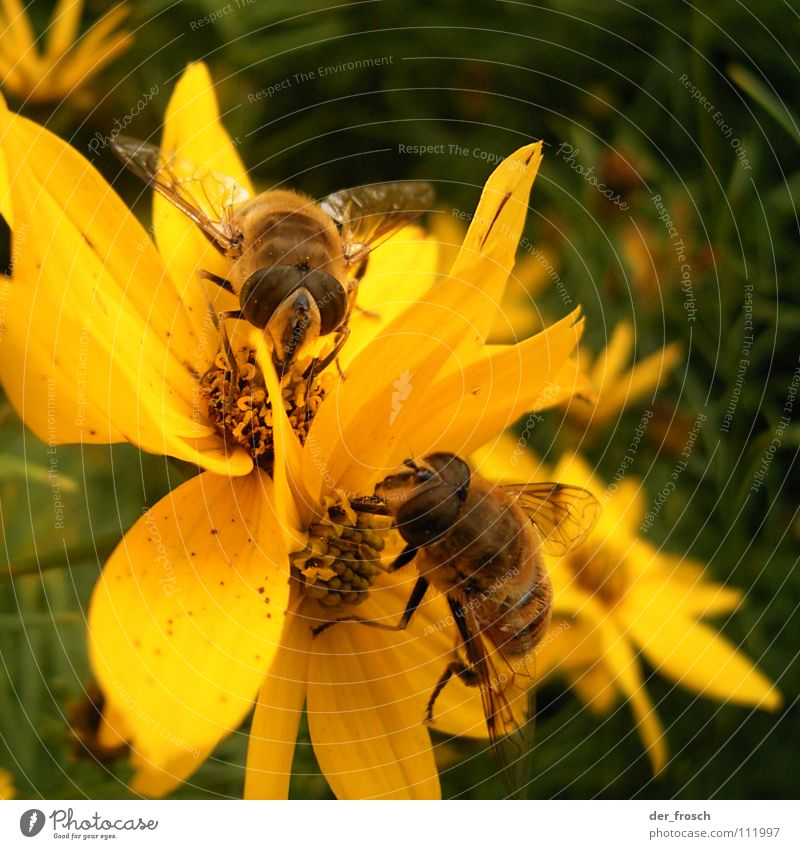 Nature Flower Plant Summer Yellow Blossom Spring Garden Together Pair of animals In pairs Insect Bee Honey Stamen Nectar