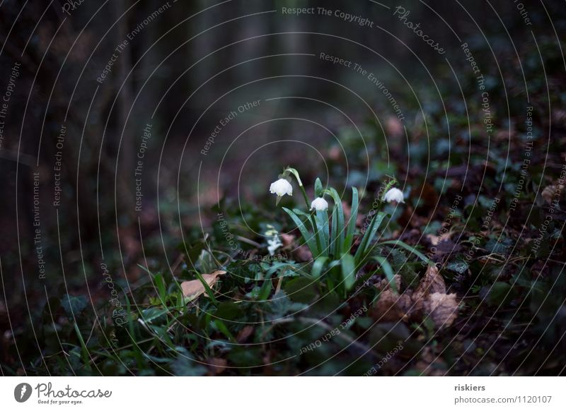 enchanted Environment Nature Plant Spring Flower Ivy Spring snowflake Forest Blossoming Dark Loneliness Jinxed Fairy tale Enchanted forest Colour photo