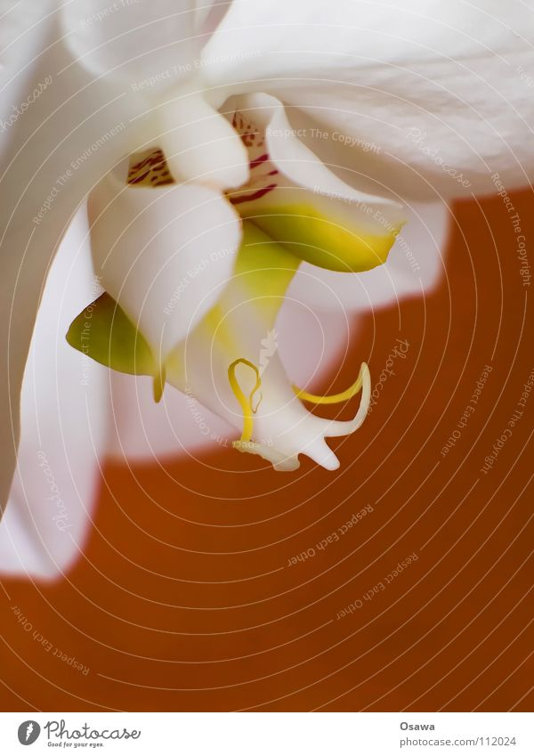 White Flower Red Yellow Blossom 2 Orange Delicate Orchid Fragile