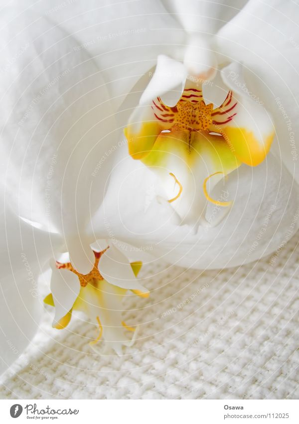 Flower III Orchid 2 Blossom White Yellow Red Delicate Fragile flowers Orange